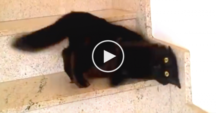 This Cat LOVES The Stairs, But Wait Till You See The Reason Why… This Is Just Hilarious, LOL!!