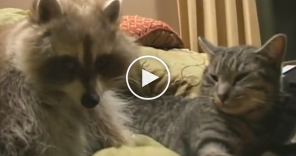 This Raccoon Notices The Cat, But I Couldn't Believe What I Saw Next… Are You SERIOUS?!