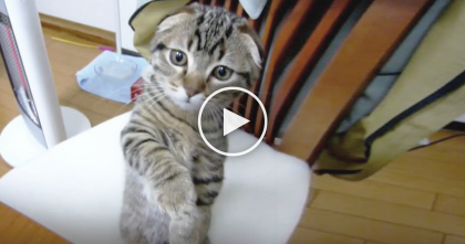 Kitten Smells Something On The Table, But Just Watch What He Does Next… TOO Darn Adorable!!