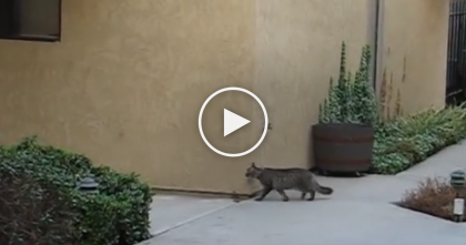 Cat Tries To Get Into The Apartment, But When You See How He Does It?? Now I'm Speechless… Whoa!!