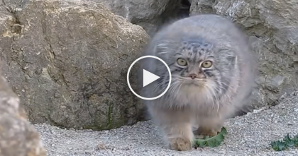 Wild Fluffy Cat Notices Someone Is Watching Him, But Watch What He Does Next… Omg, LOL!!