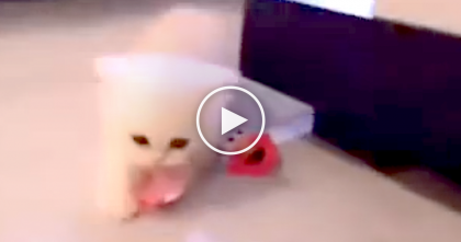 Tiny Kitten Thief Steals A Pacifier, But What He Does With It… Funniest Thing Ever, LOL