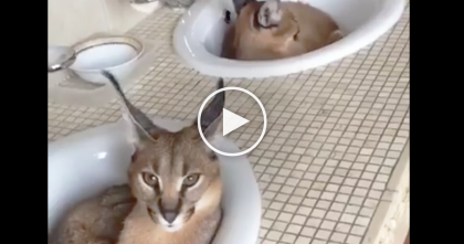 At First It Looks Like A Normal Cat, But Keep Watching Those Ears… WOW, They're Beautiful…