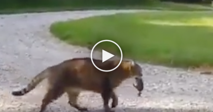 Cat Tries Catching A Chipmunk, But Keep Watching Till The End… I CAN'T Stop Laughing, Omg!!