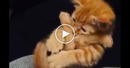 Purring Ginger Kitten Does The CUTEST Thing Ever When He Sees His Own Paws… OMG, Pricelessss!!