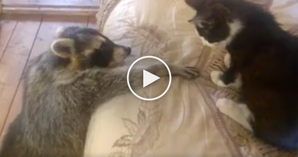 "Kitten Reacts To ""Needy"" Raccoon Who Wants To Be Friends… LOL, He Doesn't Know What To Do?!"