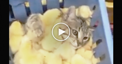 Kitty Discovers A Sea Of Chicks, But What He Does Next?? It's The Sweetest Thing Ever… OMG!!