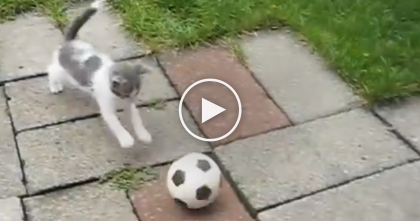 Little Kitten Notices The Soccer Ball, But Watch What He Does Next… OMG, Those Paws. Adorable!!
