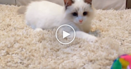 No Matter How Many Times She Throws The Ball, This Cat Never Misses…Not Even Once! WOW Watch