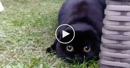 Scottish Fold Sees Something Exciting, Now Watch How He Reacts… SOO Funny And Cute, LOL.