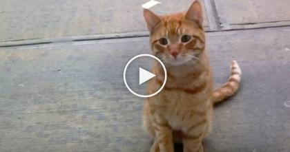 Stray Cat Just Begs For Anyone To Love Him…And How Could You Say No To This Face?! Just Watch