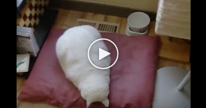 This Cat Gets Tired, But When He Falls Asleep…It's The Cutest Thing I've Ever Seen, LOL