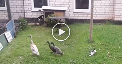 Tiny Kitten Sees Baby Ducks For The First Time, Now Watch The Kitten…The Results Are TOO Funny!!