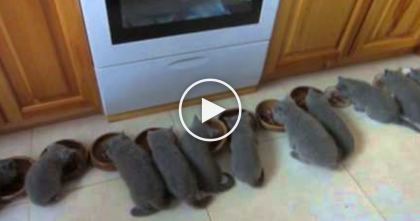 12 Kittens All Eating At The Same Time, Just Watch The Results… This Is The CUTEST Thing Ever, OMG!!