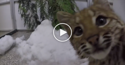 "Baby Bobcat Found In The Woods, Then ""Rescued""… But The Truth Is Not Very ""Cute,"" Just Watch!"