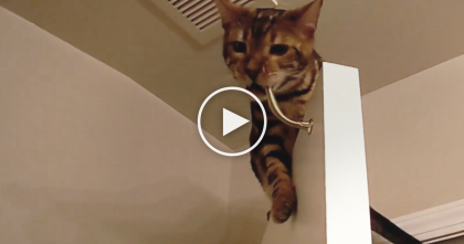Cat Wants To Play With Boingy Door Stop, But What He Has To Do…Oh My Goodness, Just Watch!