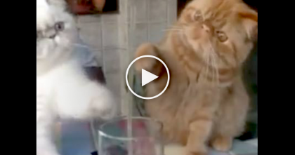 Two Cats Notice Something In Their Human's Drink, So When They Start Batting It? LOL Just Watch…