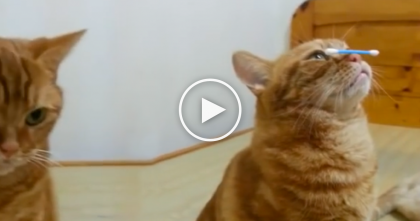 When You See What This Cat Does With A Q-Tip, You Won't Know What To Say… WOW!!