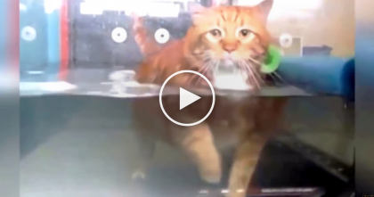 Fat Ginger Cat Needs To Loose Weight, But How He's Doing It?? Now Watch And See… Oh My Goodness!