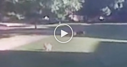Mean Dog Is Trying To Pick A Fight With The Elderly Dog…Now Watch What The Cat Does When He Sees!