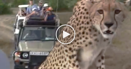 They Noticed A Cheetah While On Safari, But When He Comes Closer… NOBODY Expected That To Happen?!