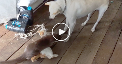 This Cat Has The Most Unlikely Play Partner You've Ever Seen… WOW, This Is Unexpected!
