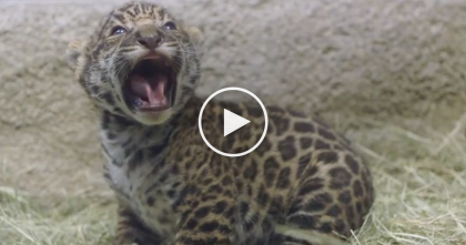 This Jaguar Mom Introduces Her Newborn Baby Jaguar, The Results Are Just TOO Cute For Words…
