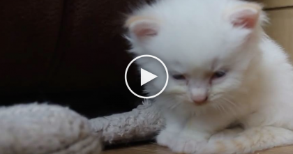 Tired Kitty Can Barely Keep His Eyes Open, But Watch… He's DESPERATELY Trying To Stay Awake, LOL!
