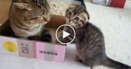 Adorable Scottish Fold Kitten And Mom Fight For The Box, This Video Is The Cutest Thing Ever!