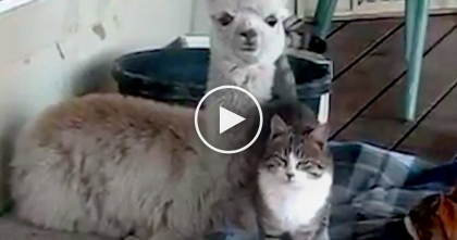 Alpaca Discovers Cats, But When They Meet Each Other, He Just Can't Resist Being Friends!