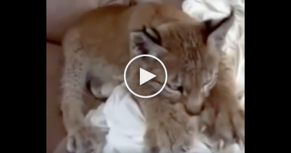 Baby Bobcat Making Biscuits Is The Cutest Video You Will See All Day… Just Watch, Awww!!