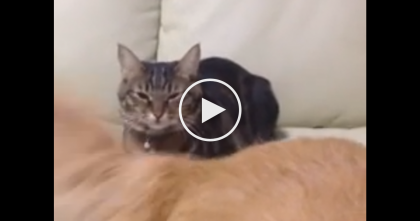 Doggie Is Annoying The Cat With Wagging Tail, But Kitty Refuses To Move Even An Inch…LOL!