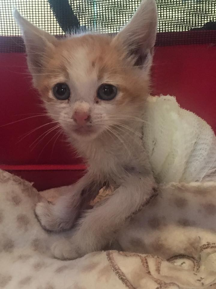 kitten-who-was-injured-in-forklift-accident-receives-love-and-care-then-turns-into-amazing-recovery-8