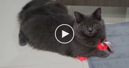 "Kitty Gets Caught ""Red-Pawed"" Stealing From Human…Now Look At The Cat's Face, LOL!!"