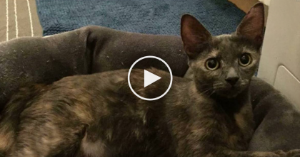 Stray Cat Surprises Shelter When She Walks In… They Never Expected This To Happen. This Is Beautiful!