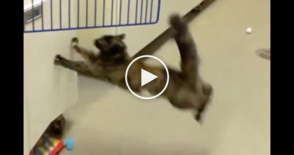 The Moment When Cat Tries To Jump From Slippery Floor… OMG, I'm Not Sure To Laugh Or Cry!