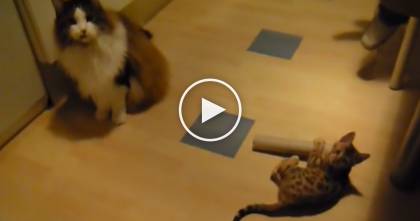 Tiny Bengal Kitten Takes On Huge Massive Maine Coon Cat And Refuses To Give Up…Watch!