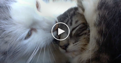 This Mother Cat Will Melt Your Heart When She Starts Giving Love To Her Kitten… SOO CUTE, Omg!!