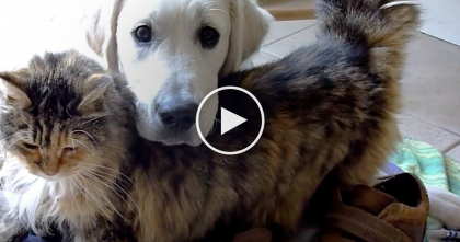 Fluffy Kitty Falls In Love With Adorable Puppy… Just Watch Them Together Now, Simply ADORABLE.