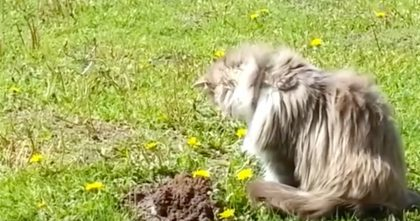 Cat Sees A Mole Coming Out Of Ground, But How He Reacts Is Hilarious… Can't. Stop. LAUGHING.
