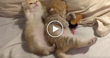 Ginger Kitten Is Trying To Get Some Sleep, But Then… He Just CAN'T Sleep, LOL. This Is Hilarious!