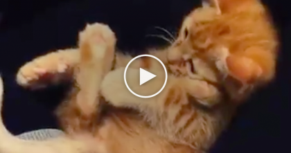 Kitten Discovers His Tail And His Reaction Is Hilarious…And ADORABLE!!  Omg, Just Watch It!!