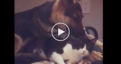 Kitty Does The Most Adorable Act Of Kindness Before Letting German Shepherd Go To Bed… The SWEETEST Ever!