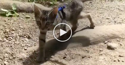 Rescue Kitten Refuses To Stay Home, But Instead, He Goes On Adventures… Just Watch, AMAZING.
