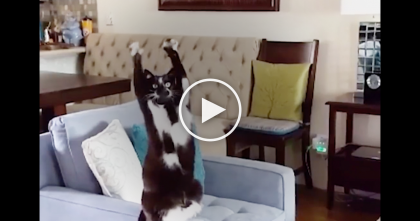 This Cat Won't Stop Putting Her Paws In The Air, But Owners Still Can't Figure Out Why…