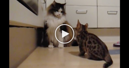 Tiny Bengal Kitten Tries To Take On Huge Maine Coon Cat, But Wait Until You See Him Jump For It, OMG…