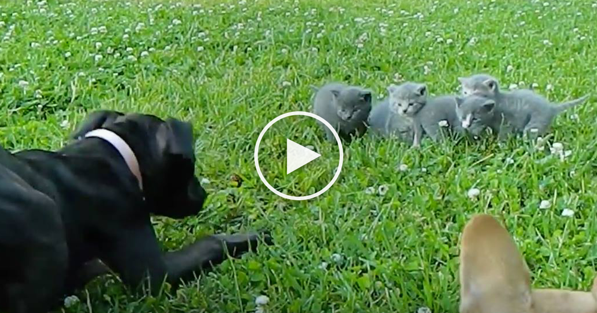 Watch Brave Little Chihuahua Protects Baby Kittens From A