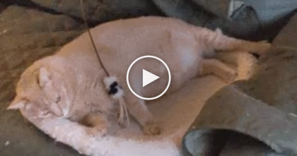 This Cat Is Not Amused by His Toy…. But Looks Can Be Deceiving! SO funny! Wait for it….!!
