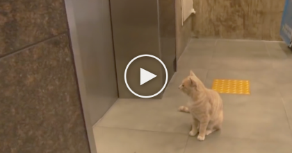Cat Waits For The Elevator Every Day, But Keep Watching To See Where He Goes… This Is Awesome!