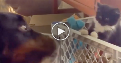 Kitten Meets Dog For First Time And Shows Him And It's The Cutest Thing Ever… LOL, Just Watch!